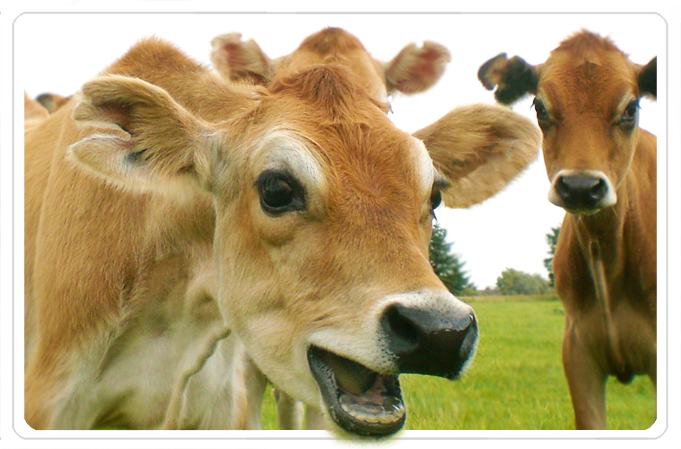cowjersey